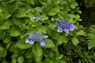 blog-紫陽花.jpg