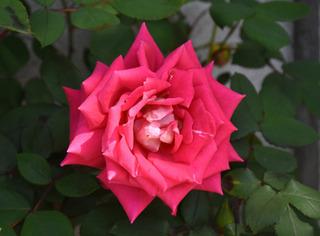 blog-rose-pink.jpg