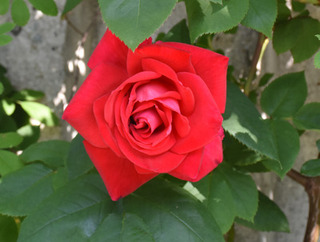 blog-rose-red.jpg