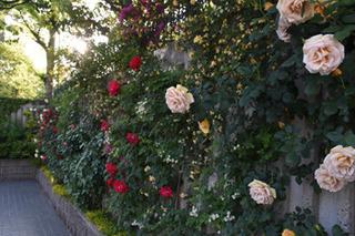 blog-roseall0428.jpg