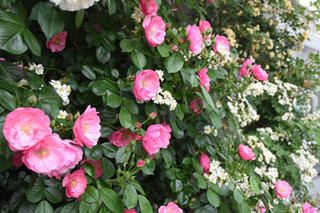 blog-rosepinkippai.jpg